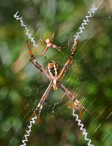 St.Andrew's Cross spider - 4565