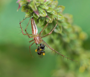 Lynx spider with Stingless bee prey_0227