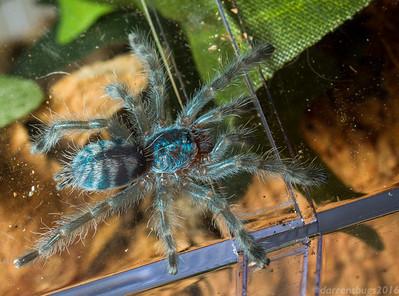 Young pinktoe tarantula, Avicularia versicolor.