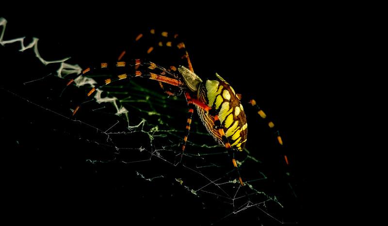 Spiders-Arachnids-152.jpg