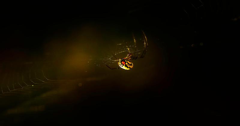 Spiders-Arachnids-110.jpg