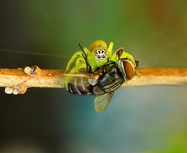 Northern Green Jumping Spider , female, with fly