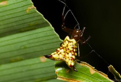 Spiny orbweaver (Araneidae: genus Micrathena) from Costa Rica.