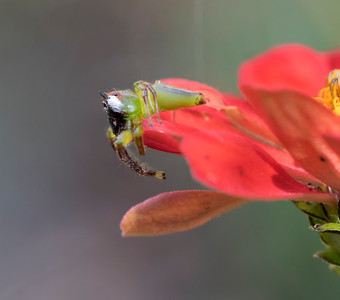 Green Jumping Spider,male - 3397