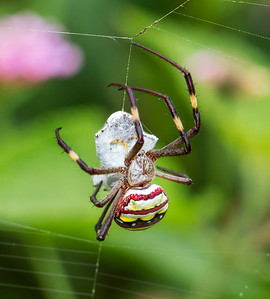 St Andrew's Cross spider - 6727