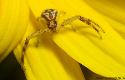 A crab spider (Thomisidae: genus Mecaphesa) from Iowa.