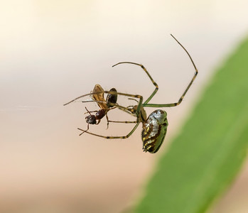 Silver Orb spider with prey - 2484