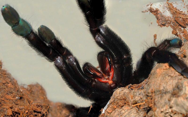 Lampropelma sp. 'Borneo black