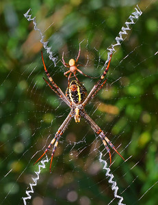 St.Andrew's Cross spider - 4574