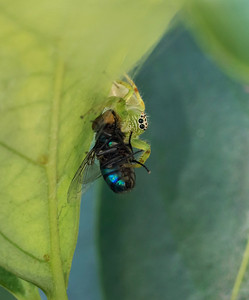 Green Jumping Spider,female -4658