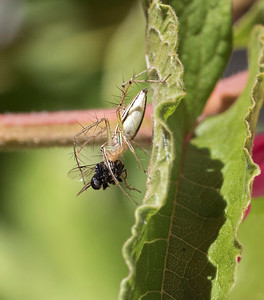 Lynx spider with Stingless bee - 9573