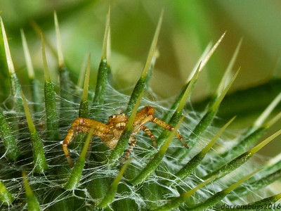 A young crab spider seeks refuge under a thistle's spines in Wisconsin.