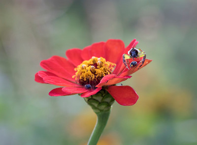 Green Jumping Spider with yellow Shouldered Lady Beetle - 3301