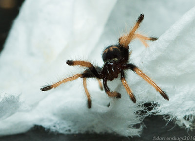 Greenbottle Blue spiderling, Chromatopelma cyaneopubescens.