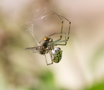 Silver Orb spider with Fly - 2416