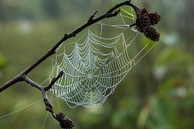 Spiderweb on alder branch.