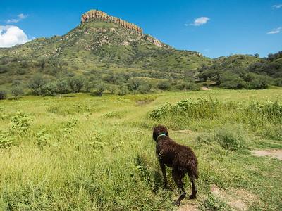 Fringe, Spinone Italiano. Pajarita Mountains, Santa Cruz Co., Arizona USA