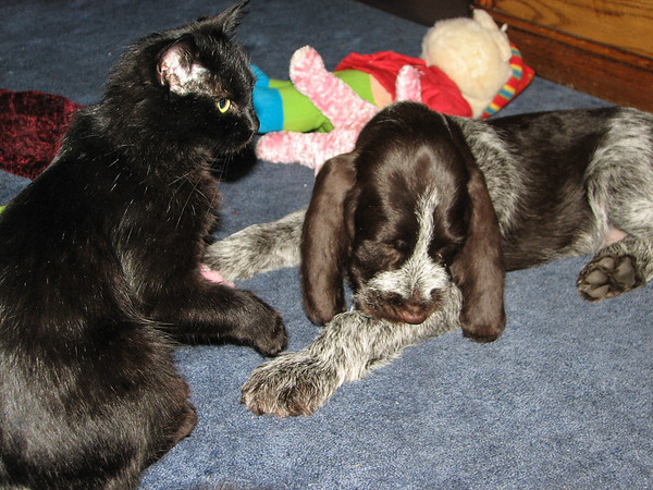Fringe, Spinone Italiano, 8.5 weeks old, and Maxine. Spartanburg, SouthCarolina USA