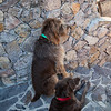 Fringe, spinone italiano, and Cazie, german wirehaired pointer