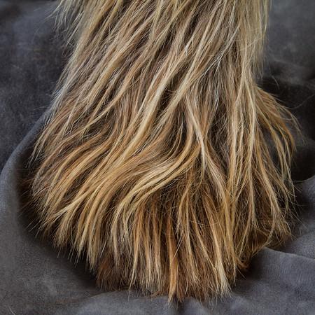 Fringe, Spinone Italiano. Big Hairy Feet.