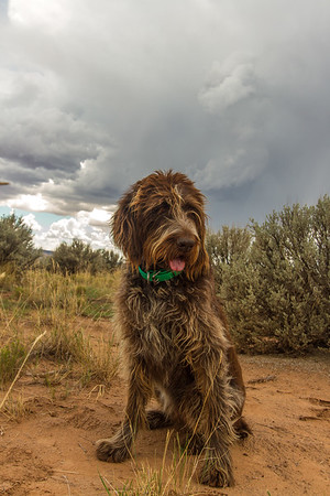 Fringe (Spinone Italiano). Cottonwood Canyon Rd. Grand Staircase Escalante National Monument, Utah USA