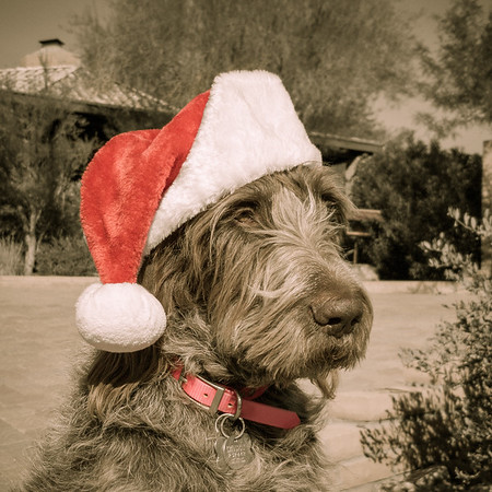 Jaypeg in Santa Hat (Spinone Italiano)