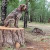 Pixelated Jaypeg on ponderosa pine logs. Sitgreaves National Forest, Apache Co., Arizona USA