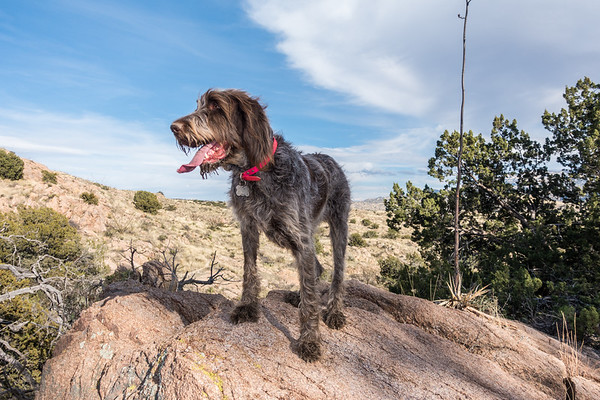 Jaypeg, spinone italiano. South of Josephine Tank, Reddington Pass, Coronado National Forest, Tucson, Arizona