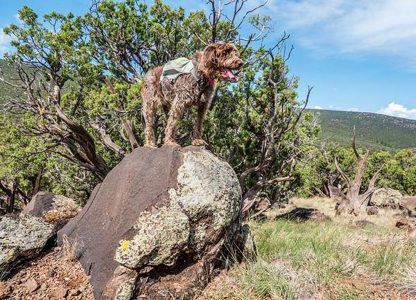 Pixelated jaypeg, spinone italiano. Yeager Canyon, Coconino Co. Arizona USA