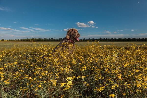 Pixelated Jaypeg, spinone italiano. Mud Lake, Coconino National Forest, Coconino County, Arizona USA