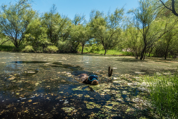 Pixelated Jaypeg swiming in the pond wearing her Rexspecs, Mendoza Canyon, King Anvil Ranch, Arizona