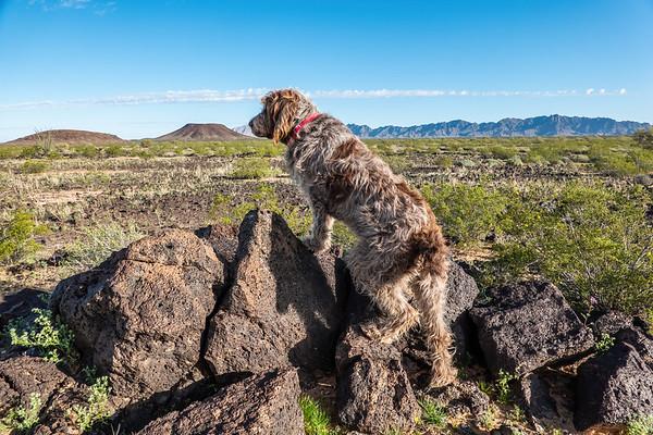 Pixelated Jaypeg, Spinone Italiano. Pinacate Lava Flow, Cabeza Prieta National Wildlife Refuge, Yuma County Arizona USA