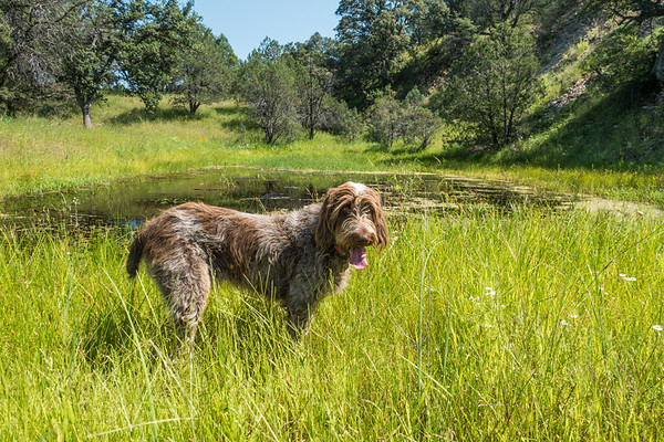 Pixelated Jaypeg, Spinone Italiano. Little Scotia Canyon, Huachuca Mtns, Cochise Co. Arizona USA