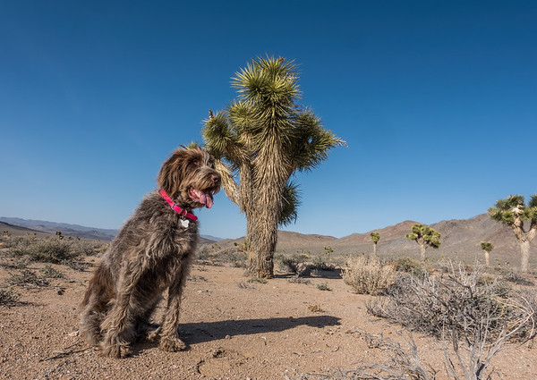 Pixelated Jaypeg, Spinone Italiano. Darwin Hills Joshua Tree Forest, Inyo Co. California USA