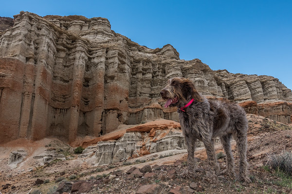Pixelated Jaypeg, Spinone Italiano. Hagen Canyon, Red Rock Canyon State Park, California USA