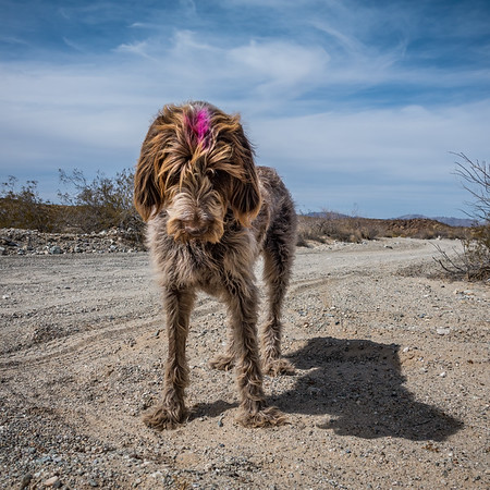 Pixelated Jaypeg, Spinone Italiano. Eastern Coxcomb Mountains, Riverside Co. California USA