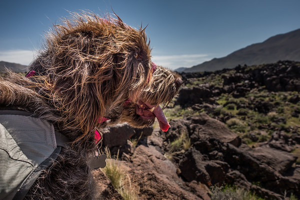Pixelated Jaypeg, Spinone Italiano. Fossil Falls, Inyo Co. California USA