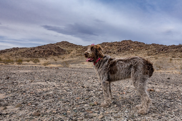 Pixelated Jaypeg, spinone italiano. Pinto Mountains, Riverside Co. California USA