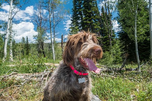 Pixelated Jaypeg (spinone italiano). FR005, Mount Naomi Wilderness Area, Twin Creek Area, Utah USA