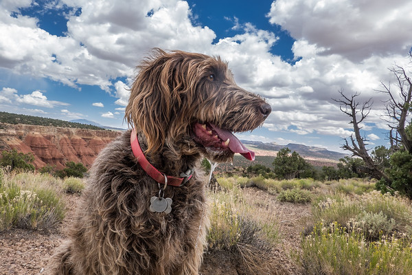 Pixelated Jaypeg, spinone italiano. Along Burr Trail, Escalante Grand-staircase national Monument, Garfield County Utah USA