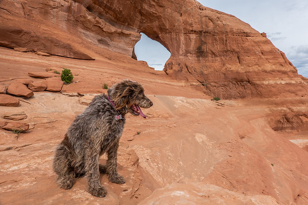 Jaypeg, spinone italiano. Looking Glass Rock, Utah USA