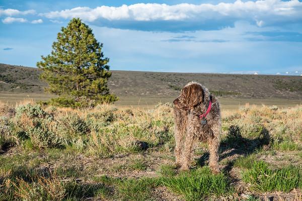 Pixelate Jaypeg, Spinone Italiano. Dixie National Forest, Garfield County, Utah USA