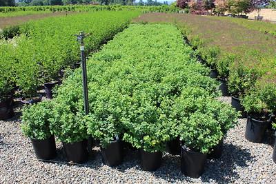 Spiraea betuifolia 'Tor' #5