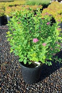 Spiraea densiflora #5