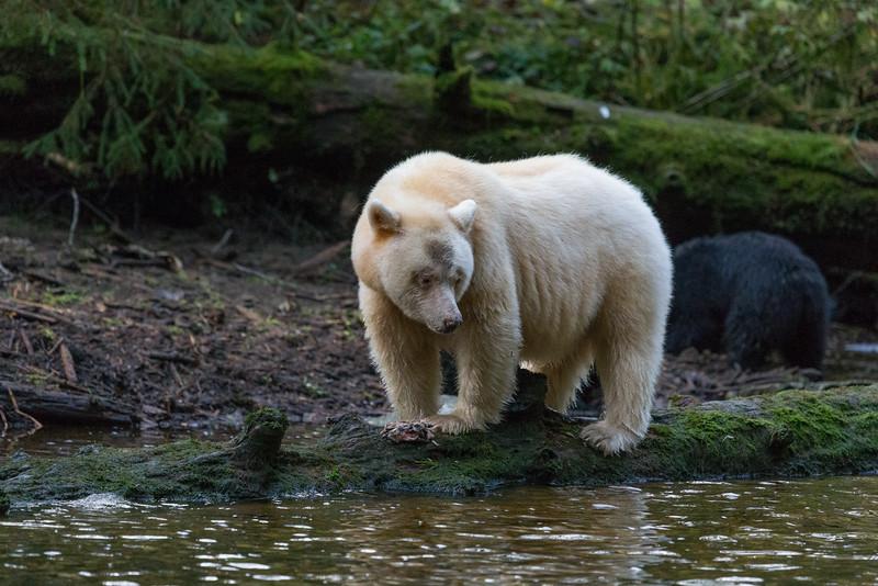 Spirit Bear looking for salmon