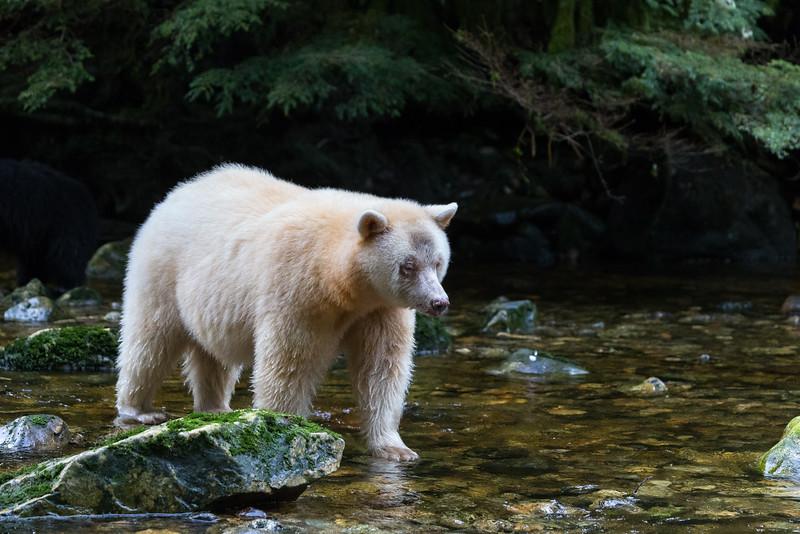 Spirit Bear  going fishing