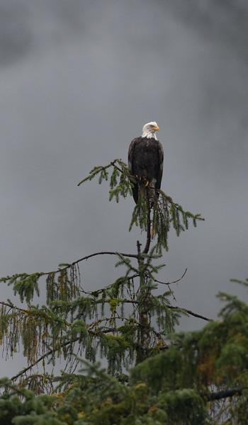 Bald Eagle at Kynoch River