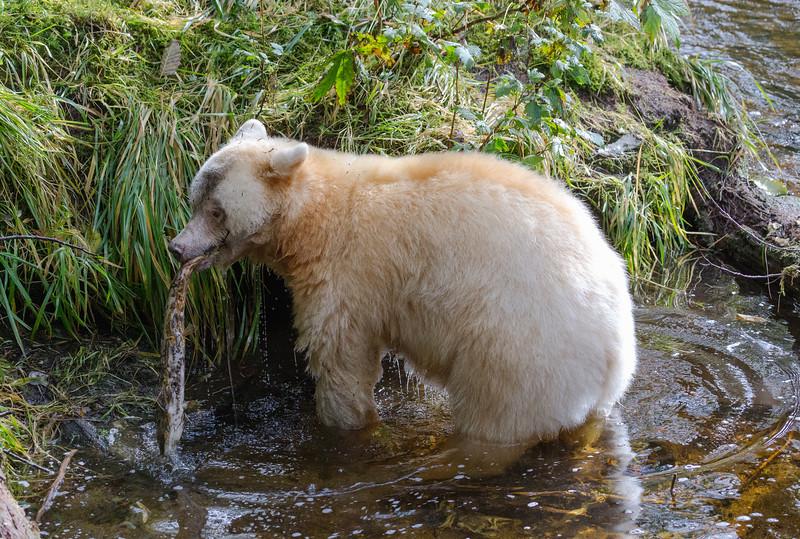 Spirit Bear with a salmon