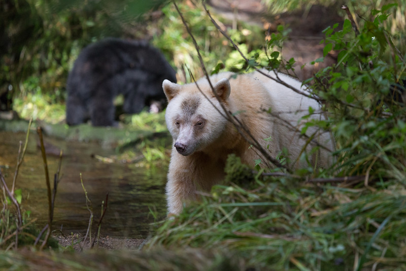Spirit bear with one of her two cubs behind her