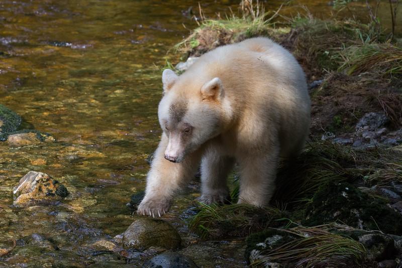 Spirit Bear